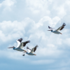 Pelicans flying in the same direction